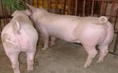 <b>怎么留瘦肉型后备母猪?  瘦肉型后备母猪挑选方法</b>