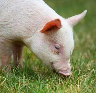 初春生猪饲养管理技术