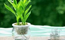 怎样让富贵竹长根?水养富贵竹不长根怎么办?