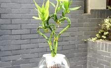 水培富贵竹想养得好,营养液少不了!