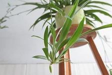 新房除甲醛净化空气必备花卉之吊兰