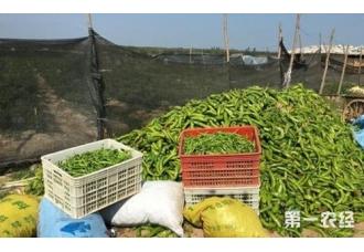 海南椒类蔬菜滞销 省农业厅产销对接
