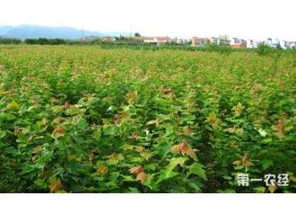 湖北十堰市7万多棵苗木滞销 桂花苗美国红枫等纷纷找买家