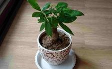 冬天如何养发财树?冬季盆栽发财树的养殖方法