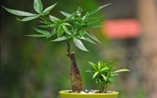 发财树如何盆栽养护?盆栽发财树的养殖方法