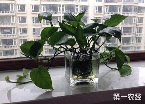 新房装饰可以净化空气的室内植物:绿萝布置方法