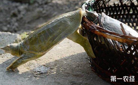 野生甲鱼吃什么东西?