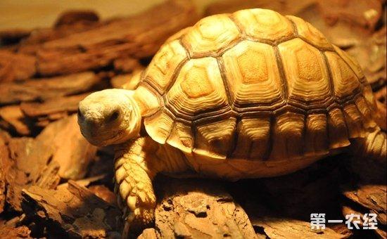 苏卡达陆龟