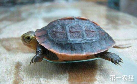 乌龟冬眠什么时候结束 乌龟冬眠结束怎么办