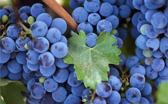 <b>保加利亚:举行葡萄剪枝节 祈求葡萄大丰收</b>