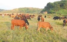养殖技术:肉牛的养殖方法