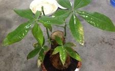 发财树如何安全过冬?冬季发财树的养殖方法