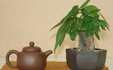 家庭盆栽发财树真的能旺财吗?
