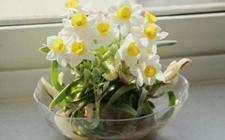 花期调控:怎么让水仙花在春节开花?