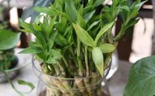 想要富贵竹长得好,这几个富贵竹的养殖误区要