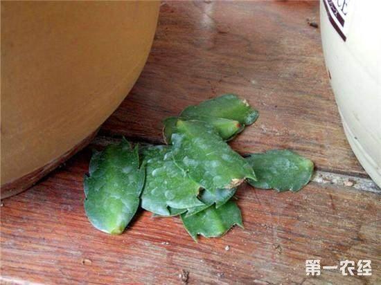 蟹爪兰叶子蔫了如何救?蟹爪兰掉叶子怎么办?