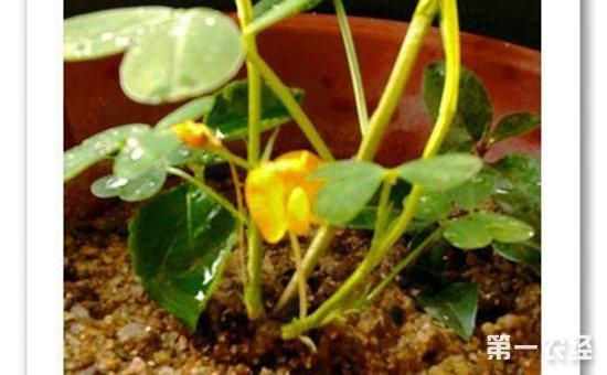 盆栽花生怎么种 花生的生长过程