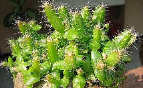 火龙果盆栽种植方法,火龙果盆栽的生长过程