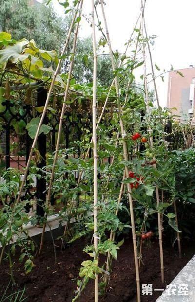 圣女果种植技术_土豆嫁接西红柿技术,土豆嫁接西红柿图片 - 种植技术 - 第一农经网