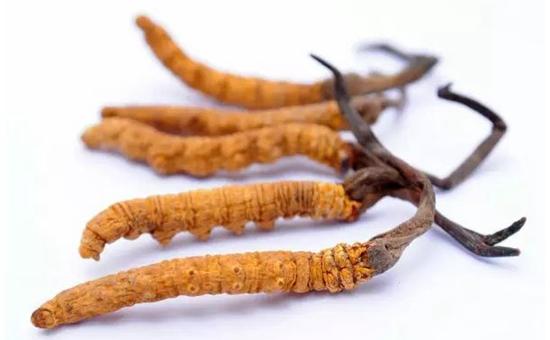 青海:气候变暖致冬虫夏草产量减产一半