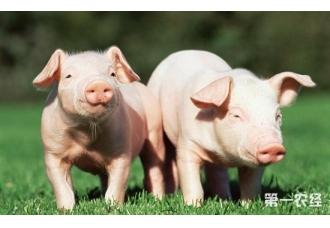 春季养猪挑战大 网友经验来相帮