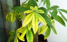 花卉养殖叶子发黄的原因和解决办法