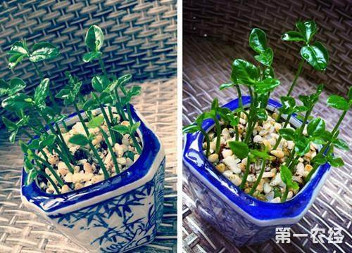 柚子树盆栽:柚子种子播种盆栽方法与步骤