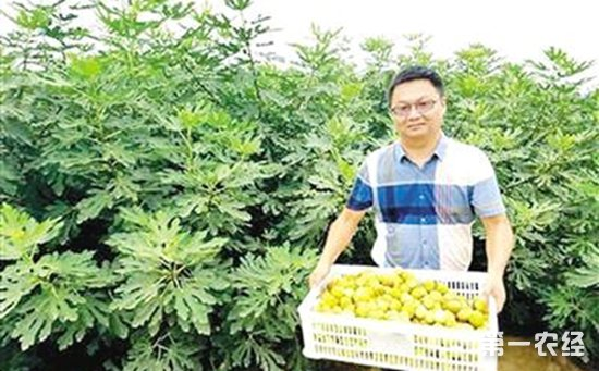 王水永:返乡创业种无花果 生态种植结出致富果