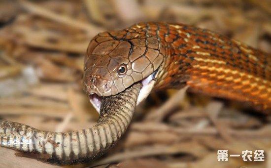 眼镜王蛇和眼镜蛇的区别