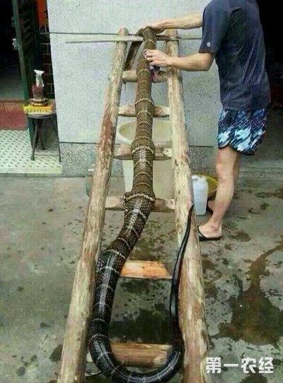 世界上最大的眼镜王蛇有多大?
