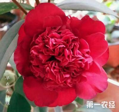 茶花品种图片大全,常见的茶花品种