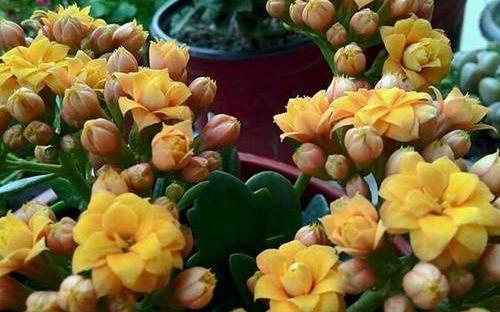 如何让长寿花多开花?长寿花怎么养花期更长?