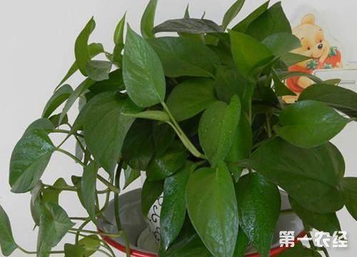 绿箩用食用醋擦叶子有用吗?为什么醋能让绿萝叶片变得更油绿?