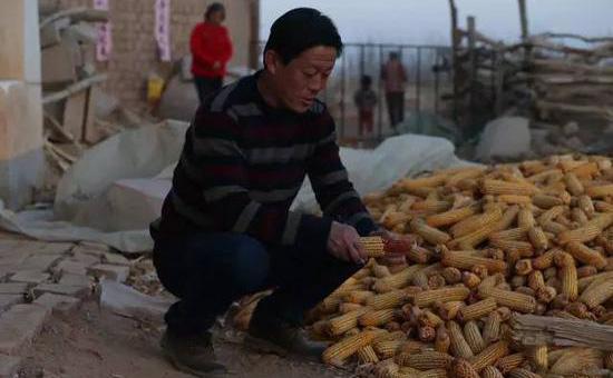 """内蒙古:农民收购玉米改判无罪 推动""""全面深化改革"""""""