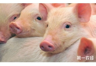 """生猪腹泻治疗成本高?华中农大专家发明""""酸奶""""治腹泻降成本"""