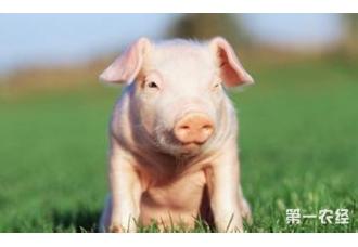 多胎增重快!妊娠母猪饲养的中庸之道
