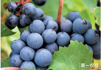 全球常见酿制优质葡萄酒品种(图片)