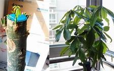 掉光枝叶的发财树还能养到枝繁叶茂!
