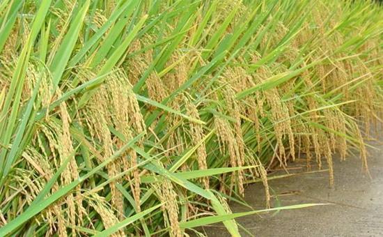 2017年中央一号文件:如何确定水稻育种目标?