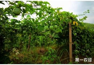 夫妇俩返乡创业种植百香果 辛勤打拼带村民致富