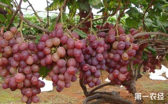 紅提是雜交育成的一個歐亞種葡萄,市場競爭力強,是很多葡萄種植戶的鐘愛,也是很多百姓的心頭好,作為最珍貴的和最具商業價值的鮮食葡萄品種,紅提在冬季怎么管理比較好呢?聽說紅提葡萄來年要豐產,冬季修剪很關鍵,那么,紅提葡萄冬季怎么修剪呢?下面第一農經小編為您介紹幾個紅提冬剪小技巧: