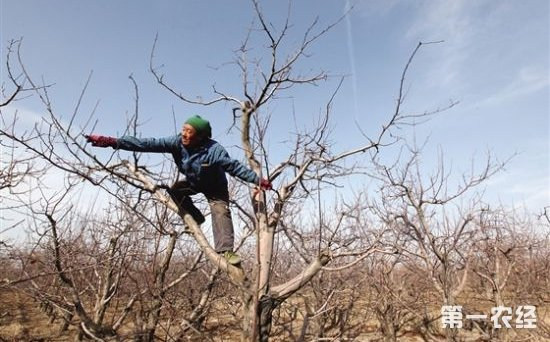苹果树冬季修剪