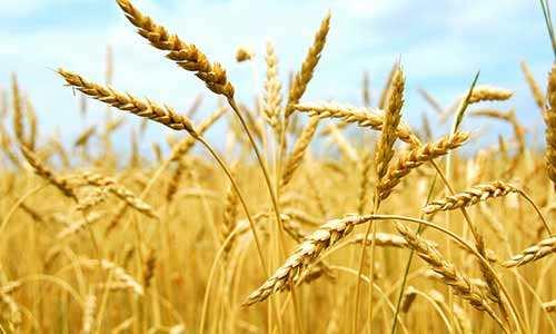 河南:8个县(市)列为小麦供给侧结构性改革试点县