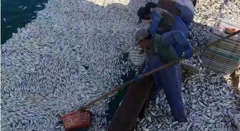 浙江普陀:小黄鱼鱼群大量突浮水面 浙江渔船捕鱼盛况