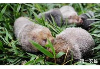 """安徽黄山区弦歌村的""""小竹鼠""""养殖致富路"""