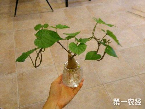 水培山芋生长步骤图