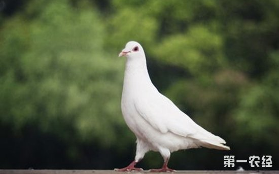 鸽子养殖 多雨的南方怎么防止鸽子生病图片