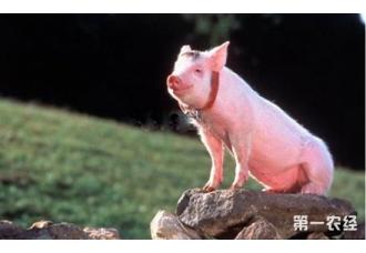禁养区搬迁令纷纷落地 小散养猪户们该怎么办?