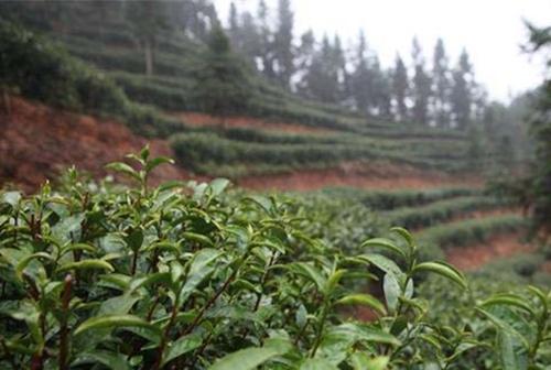湖南隆回县:开荒种有机富硒茶 贫困户踏上了致富路