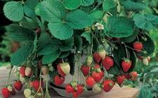 盆栽草莓金桔等5种水果,春天种下秋天就能结果